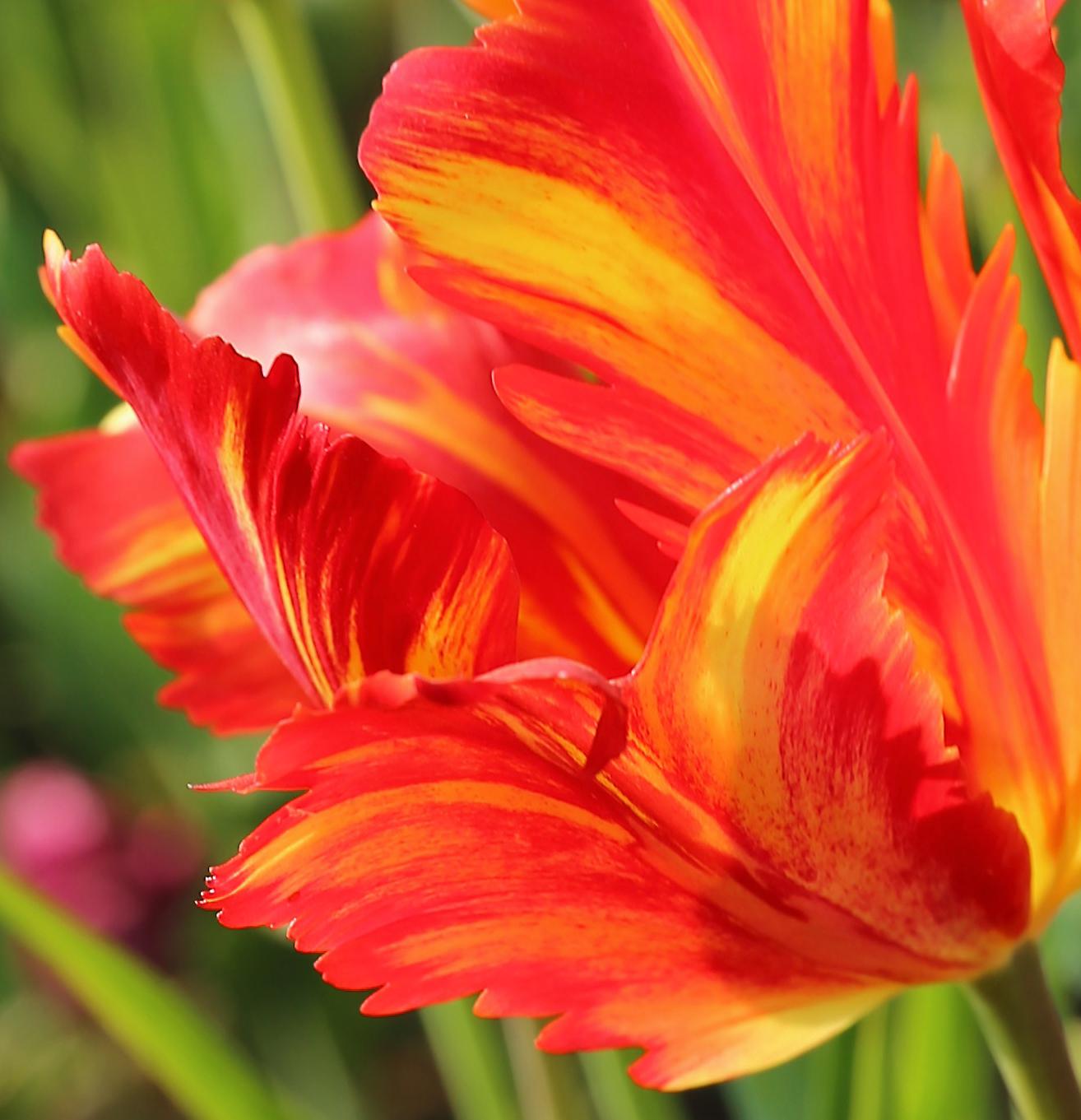 Fire tulip dancing orange and red beautiful pretty