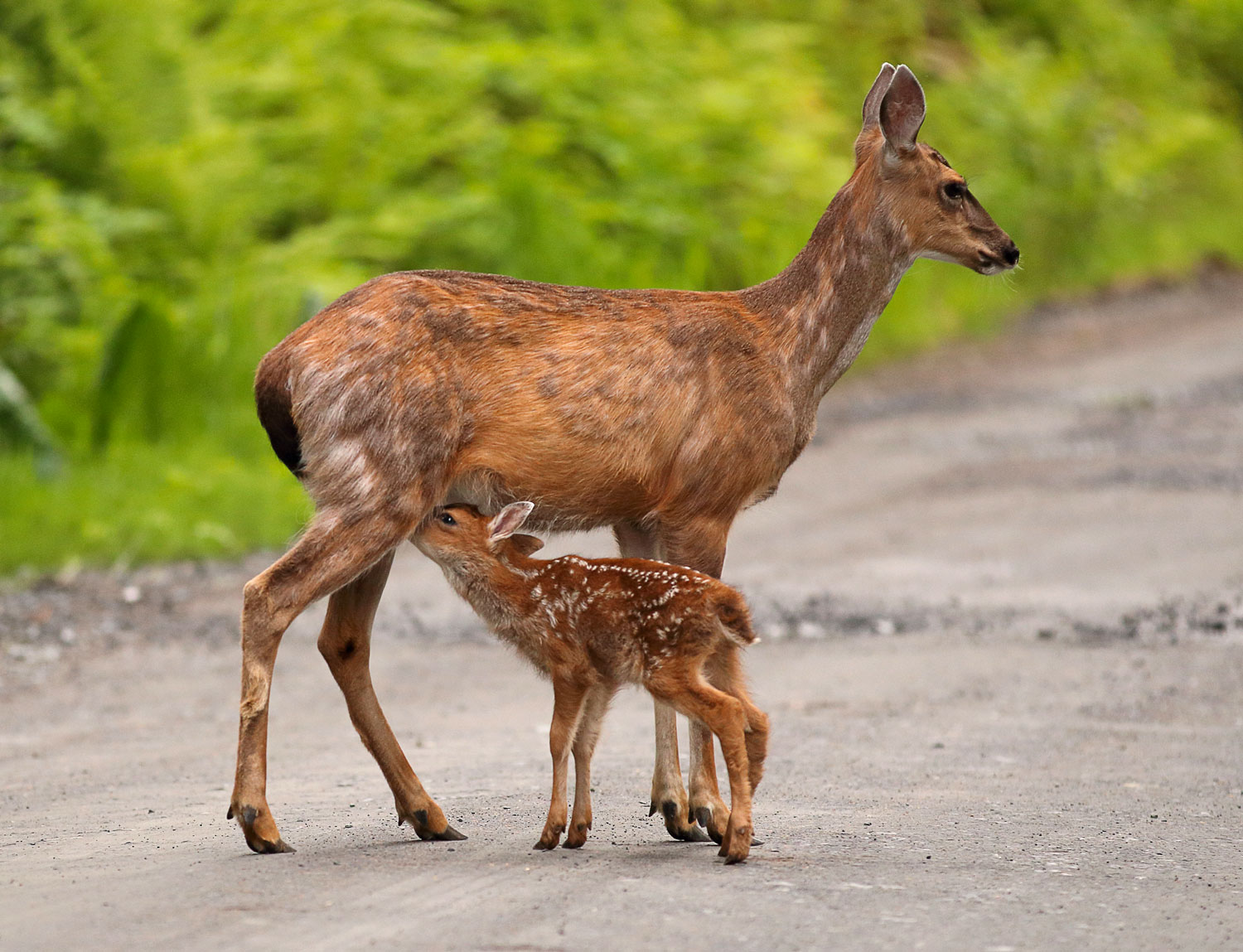 cute fawn nursing deer doe Sitka Blacktail Southeast Alaska sweet pretty
