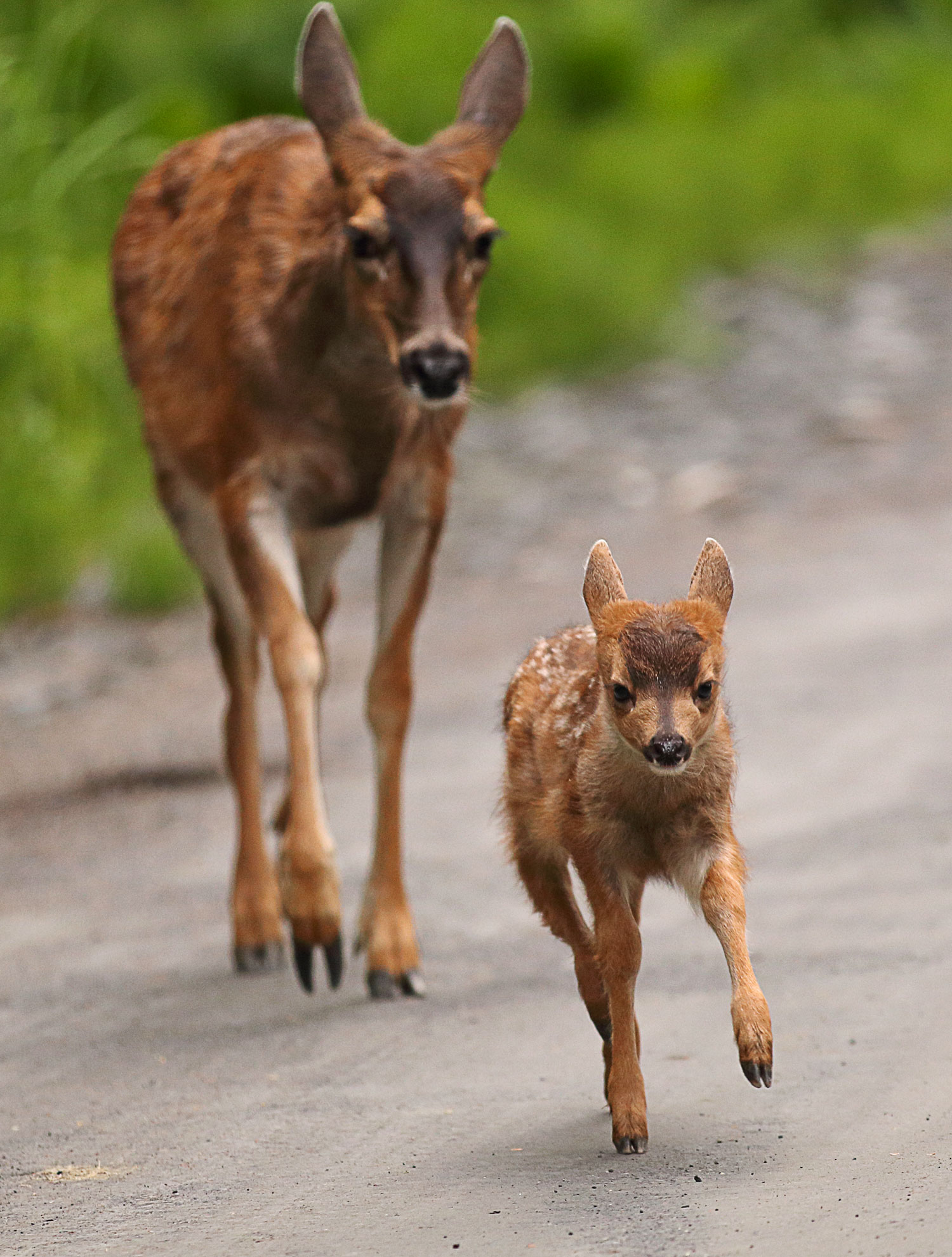 Fawn running from Mom Doe in Southeast Alaska Sitka Blacktail Deer super cute