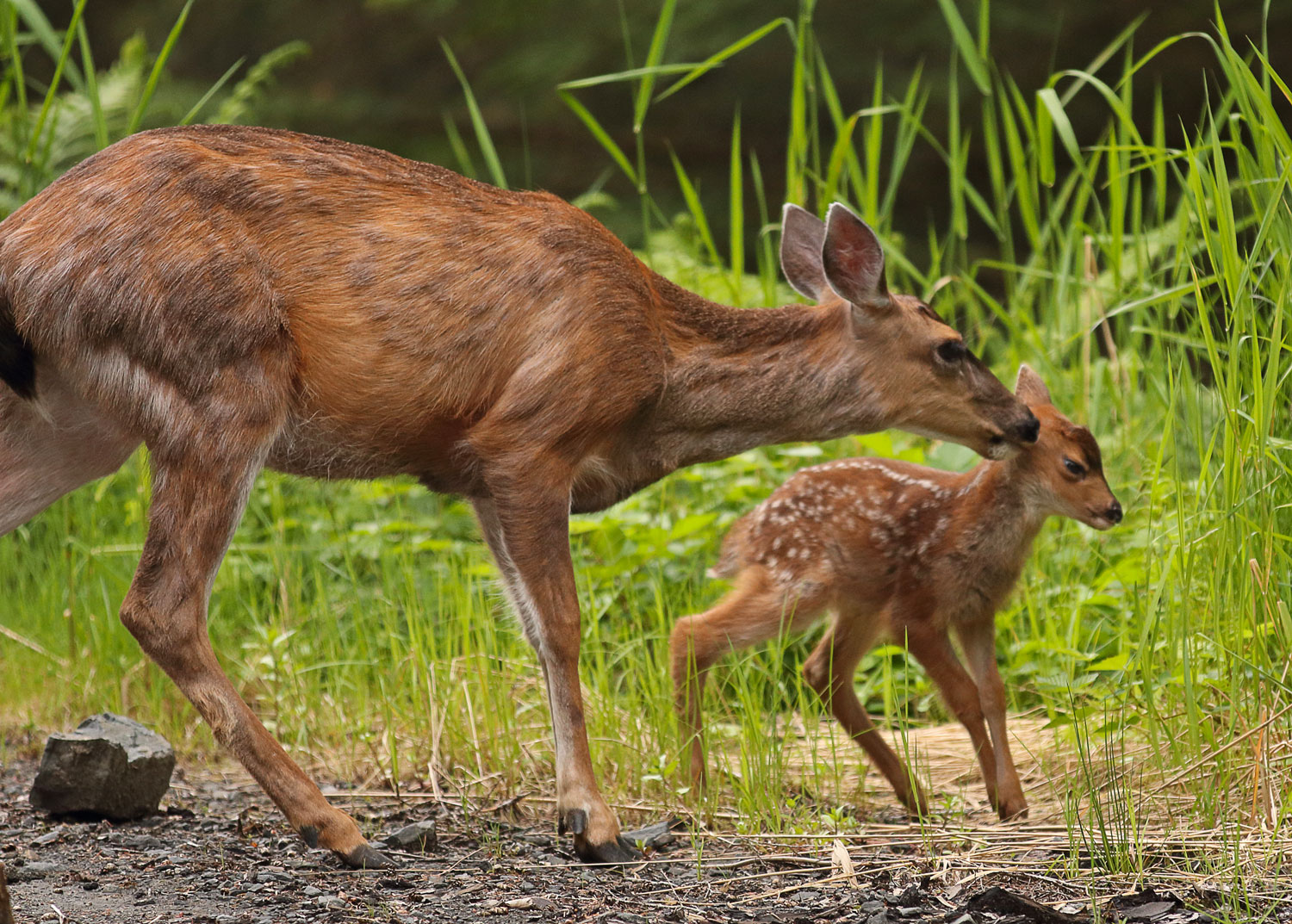 Sitka Blacktail Doe pulling fawns ear in Southeast Alaska