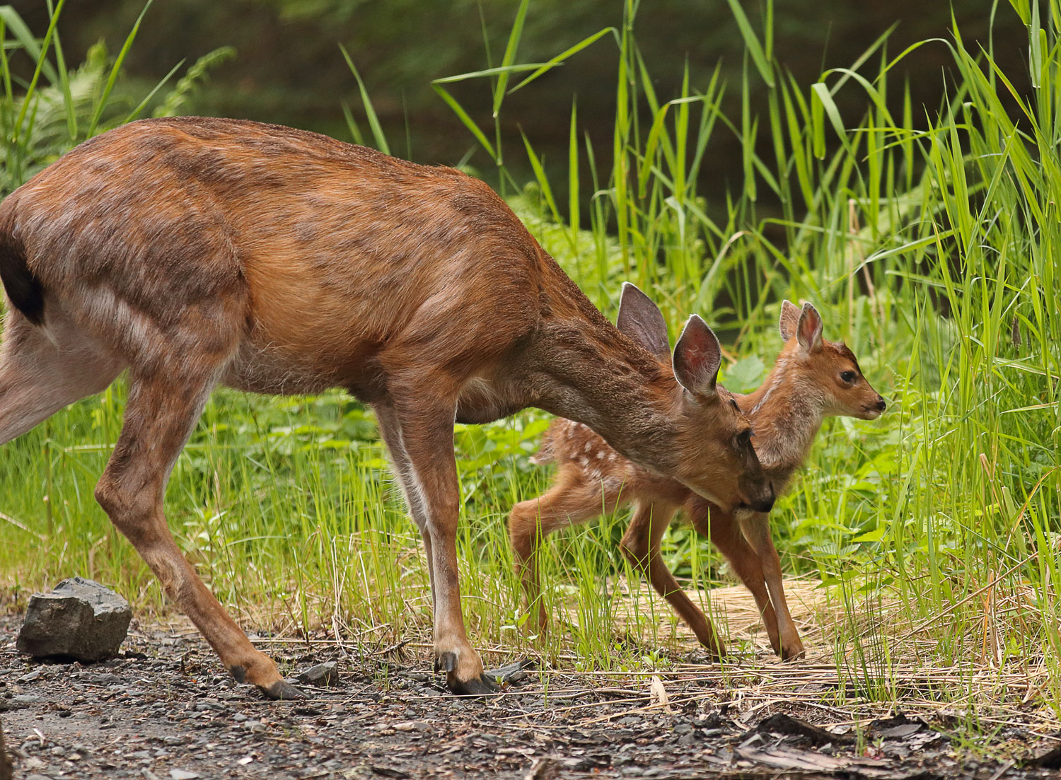 Sitka blacktail doe and fawn in Southeast Alaska