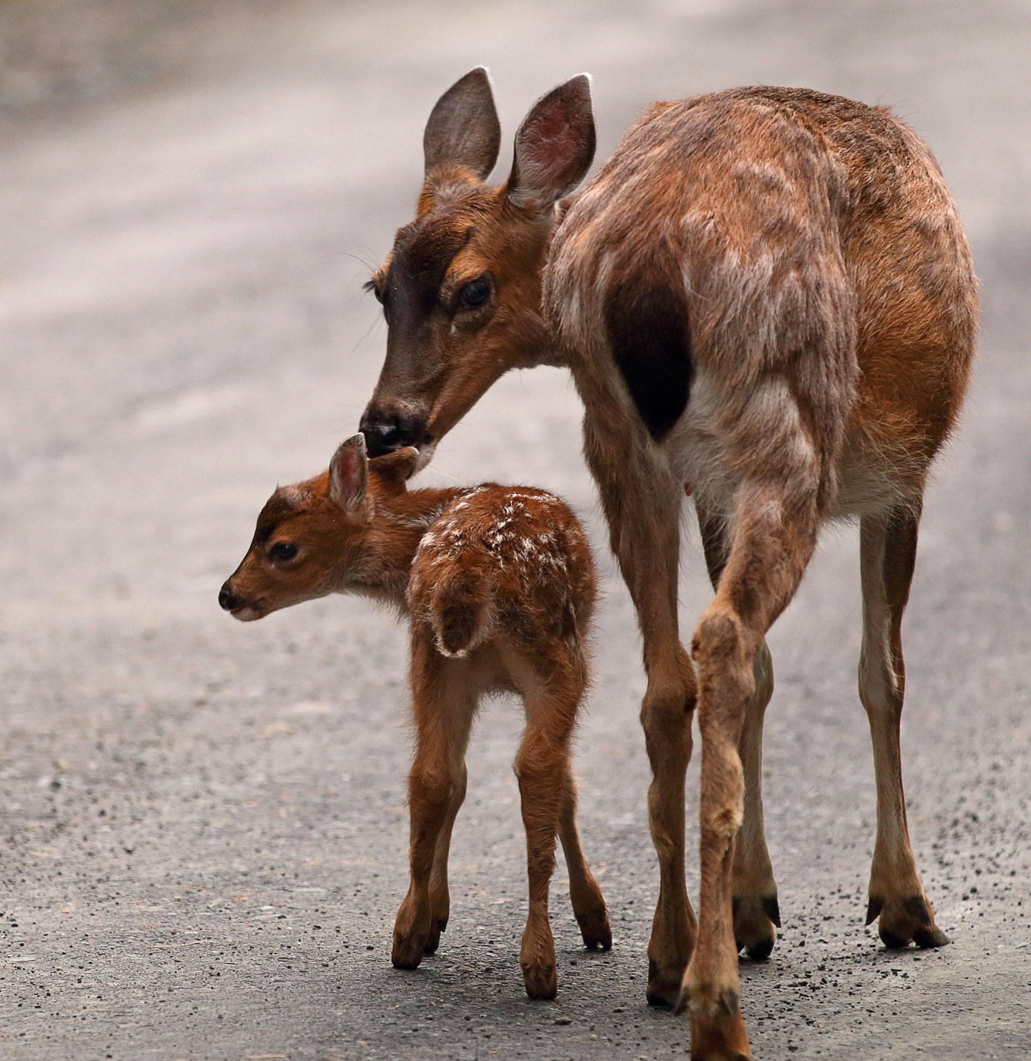 Sitka blacktail doe and fawn in Southeast Alaska mother licking fawn