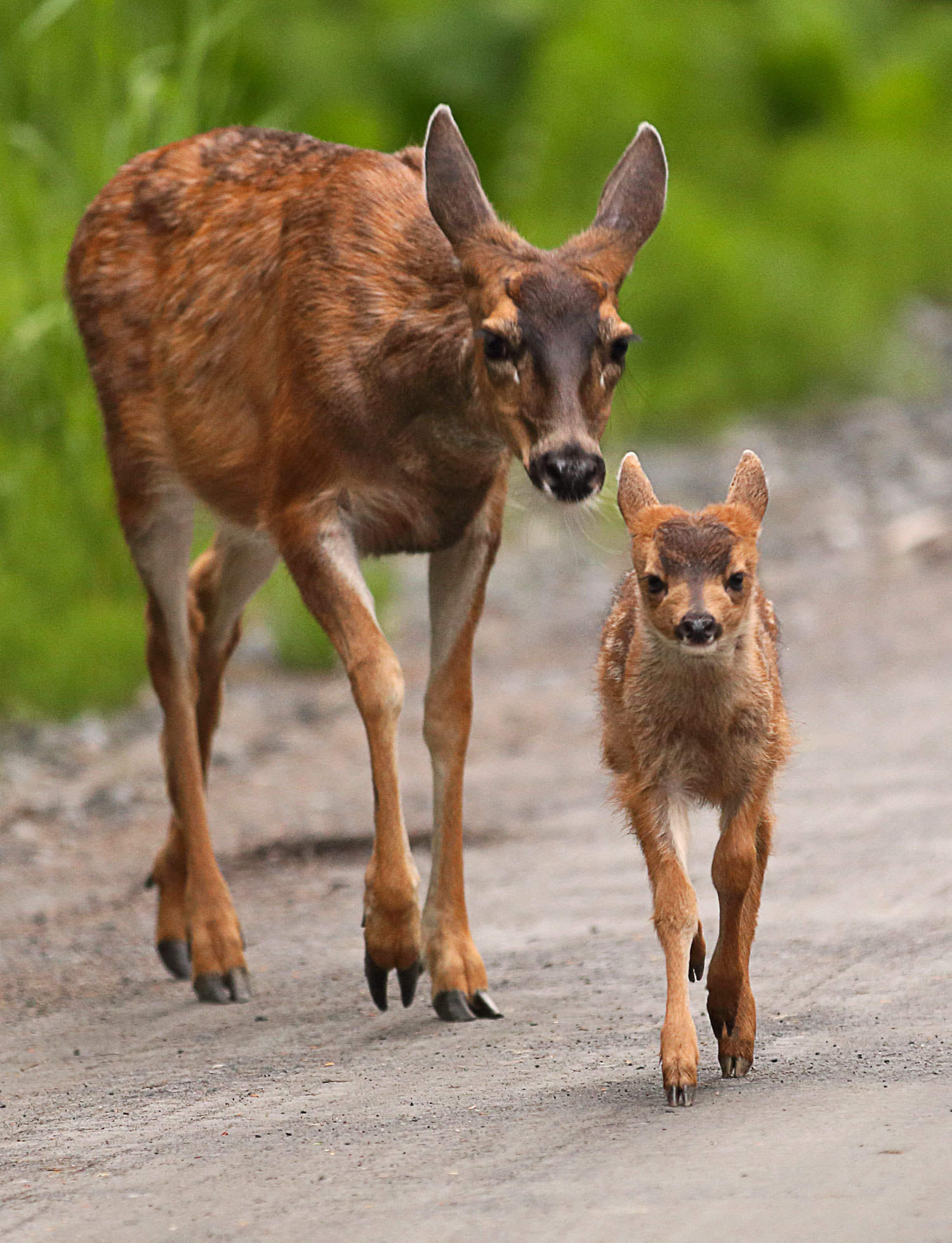 Sitka blacktail fawn walking with determination in Southeast Alaska