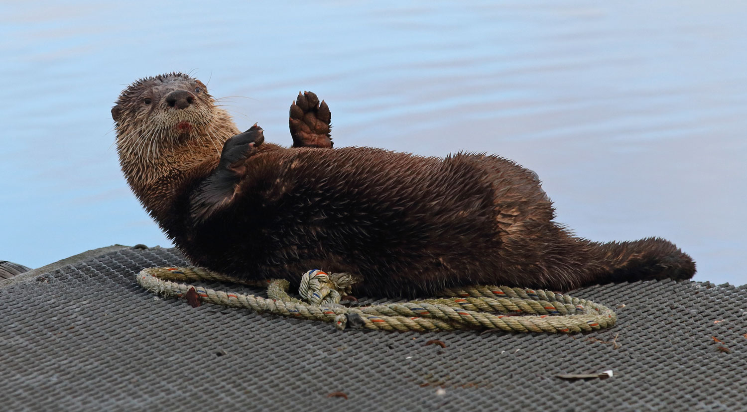 River otter rolling on line on a float in Coffman Cove, Southeast Alaska