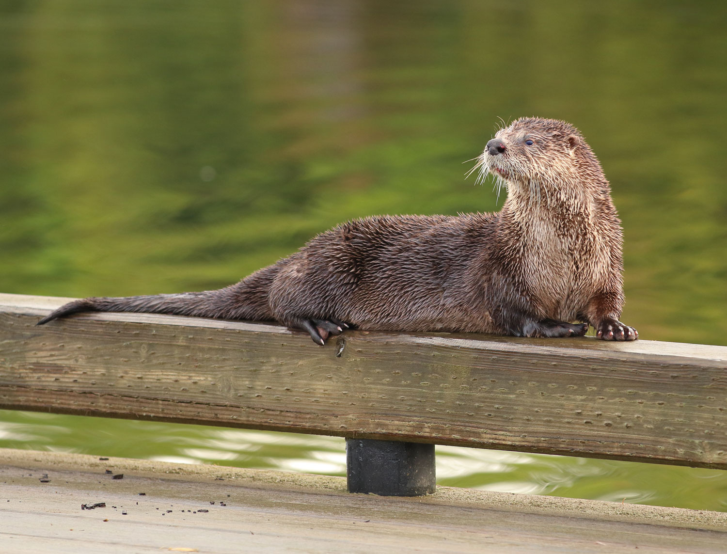 Pretty river otter posing on dock bull rail in Coffman Cove Southeast Alaska