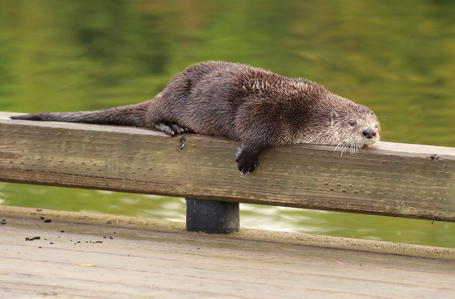 River otter laying on airplane dock rail in Coffman Cove Southeast Alaska