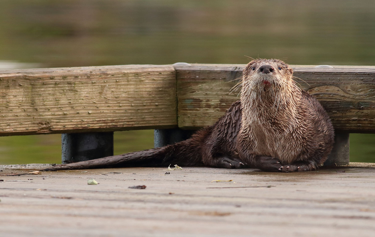 River otter in corner of dock at Coffman Cove Southeast Alaska