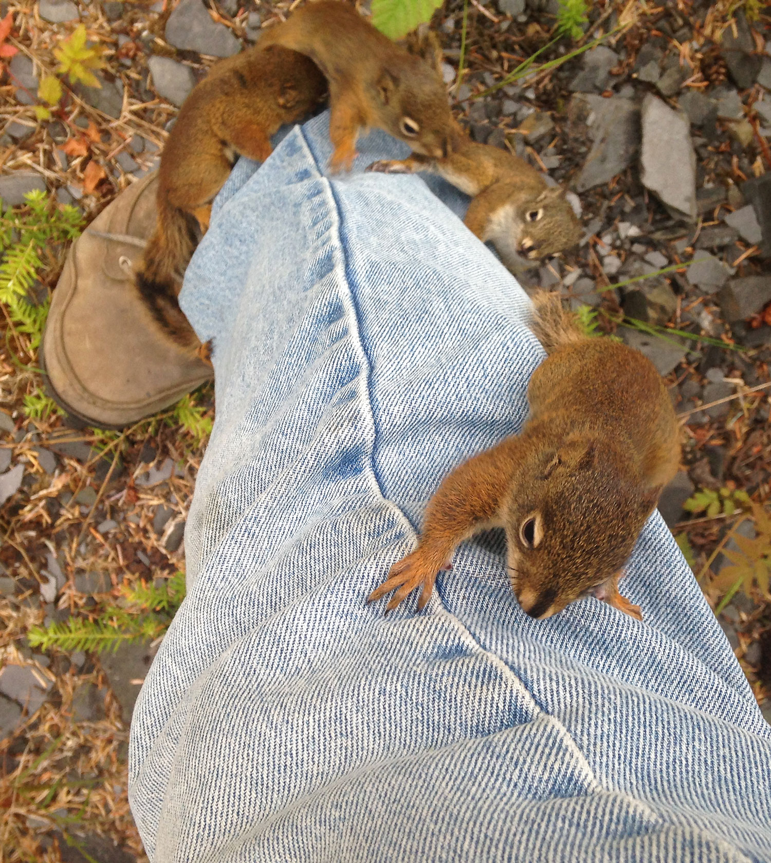Baby squirrels running up jeans leg Wrangell Southeast Alaska super cute funny