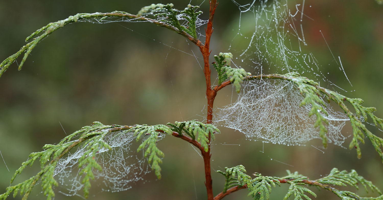 Spider webs with dew drops on cedar tree