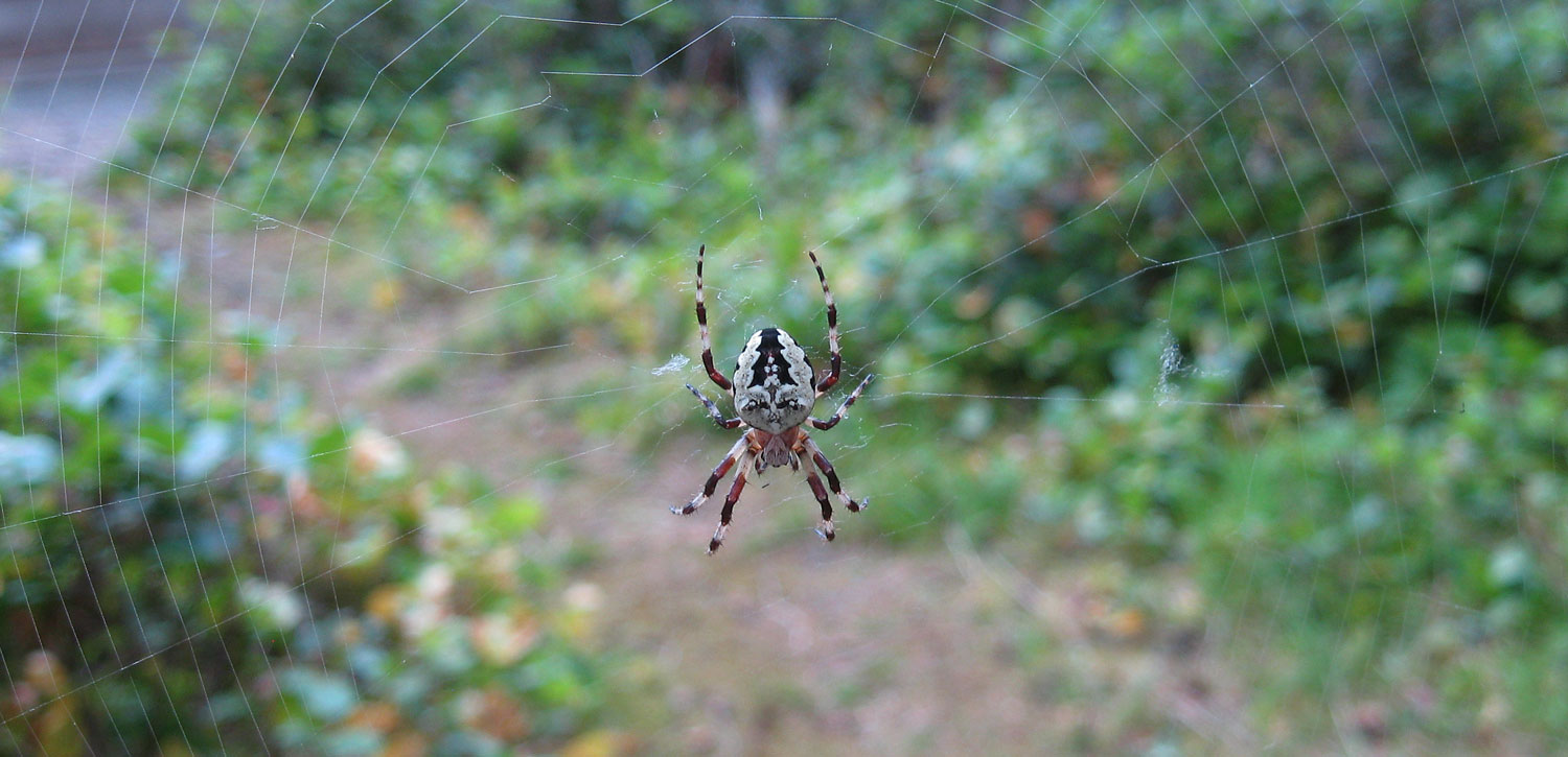 Wait! Look for the face and hair of Madeline Kahn's character, Elizabeth, in  Young Frankenstein  on the abdomen of this orb weaver spider. Remember?  When her hair rose from her head with two wavy white streaks?  There it is! Oh, stop thinking about how old I must be to remember that.