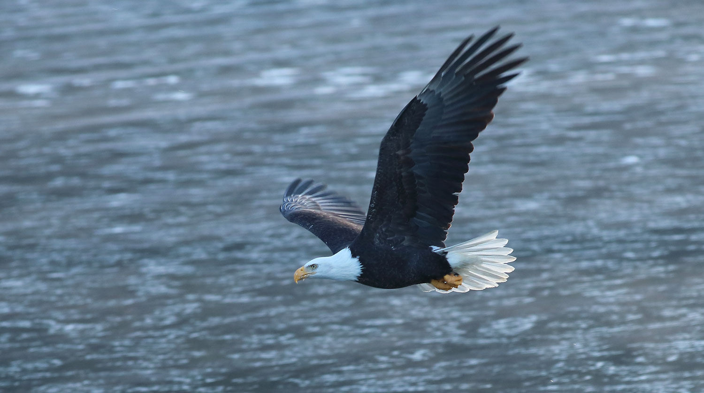 Bald eagle flying over slush ice Southeast Alaska