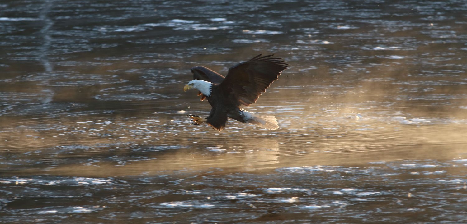 Bald eagle setting up to catch a fish Southeast Alaska