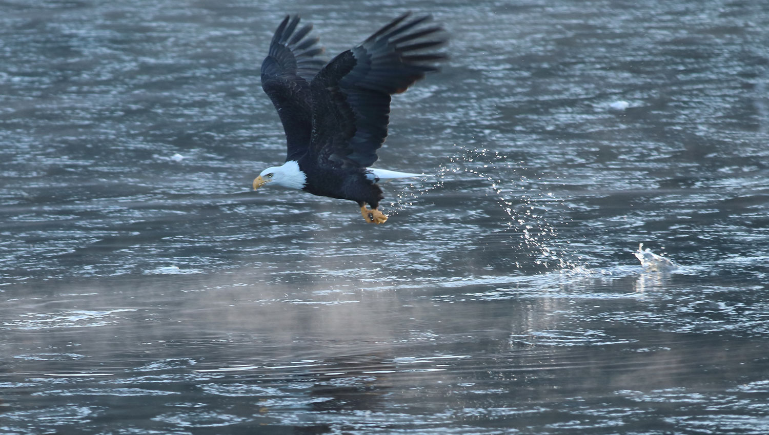 Bald eagle catching a fish in Southeast Alaska