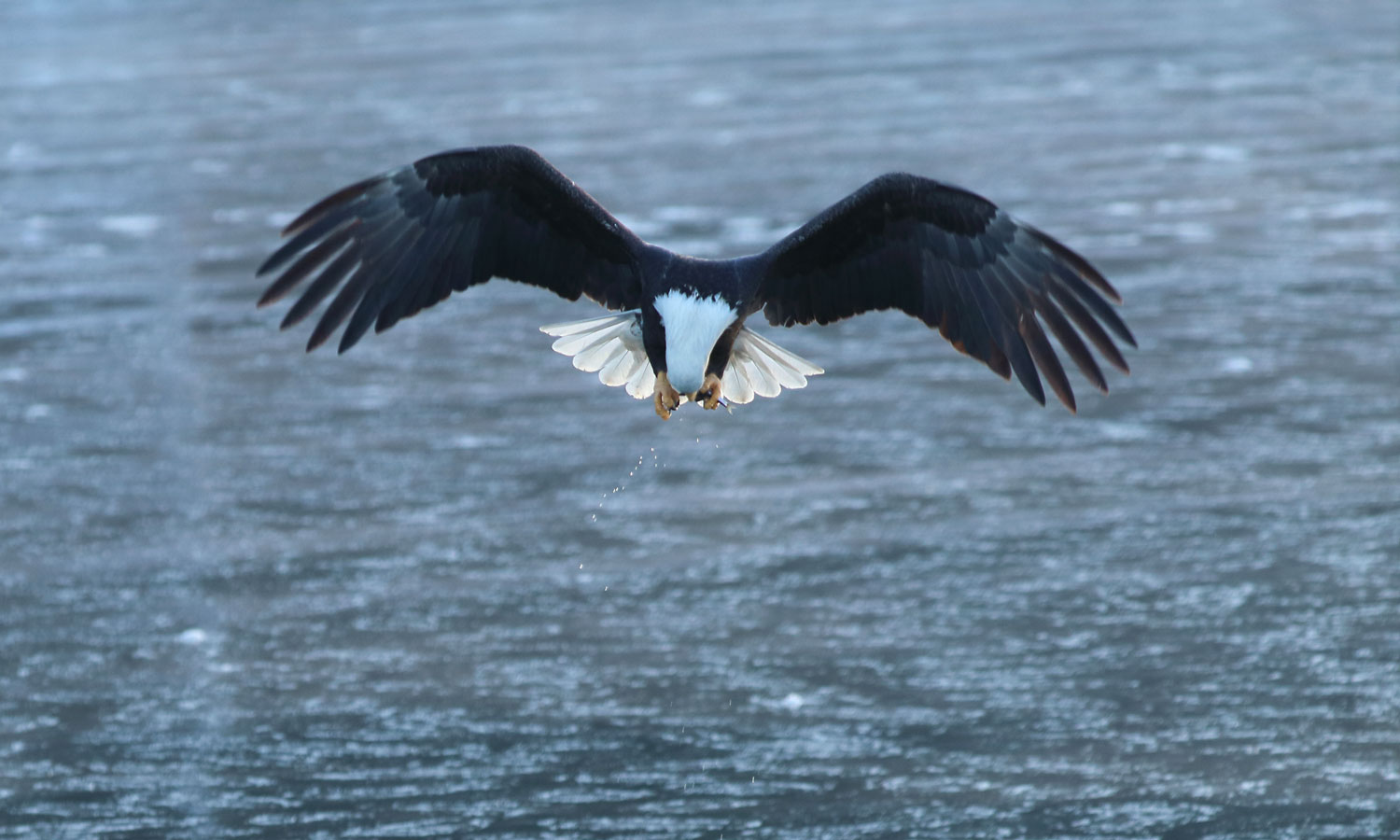 A bald eagle ducks it's head to eat the fish that it just caught.