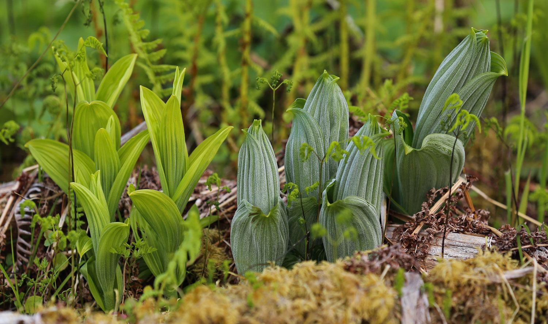 Young false hellebore poisonous plants in Southeast Alaska