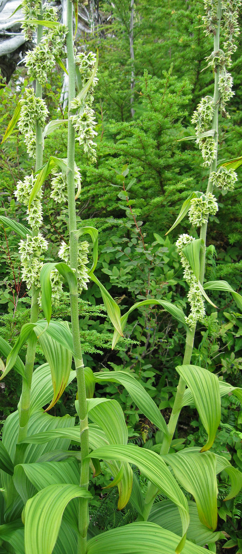 Mature, blooming false hellebore plants.