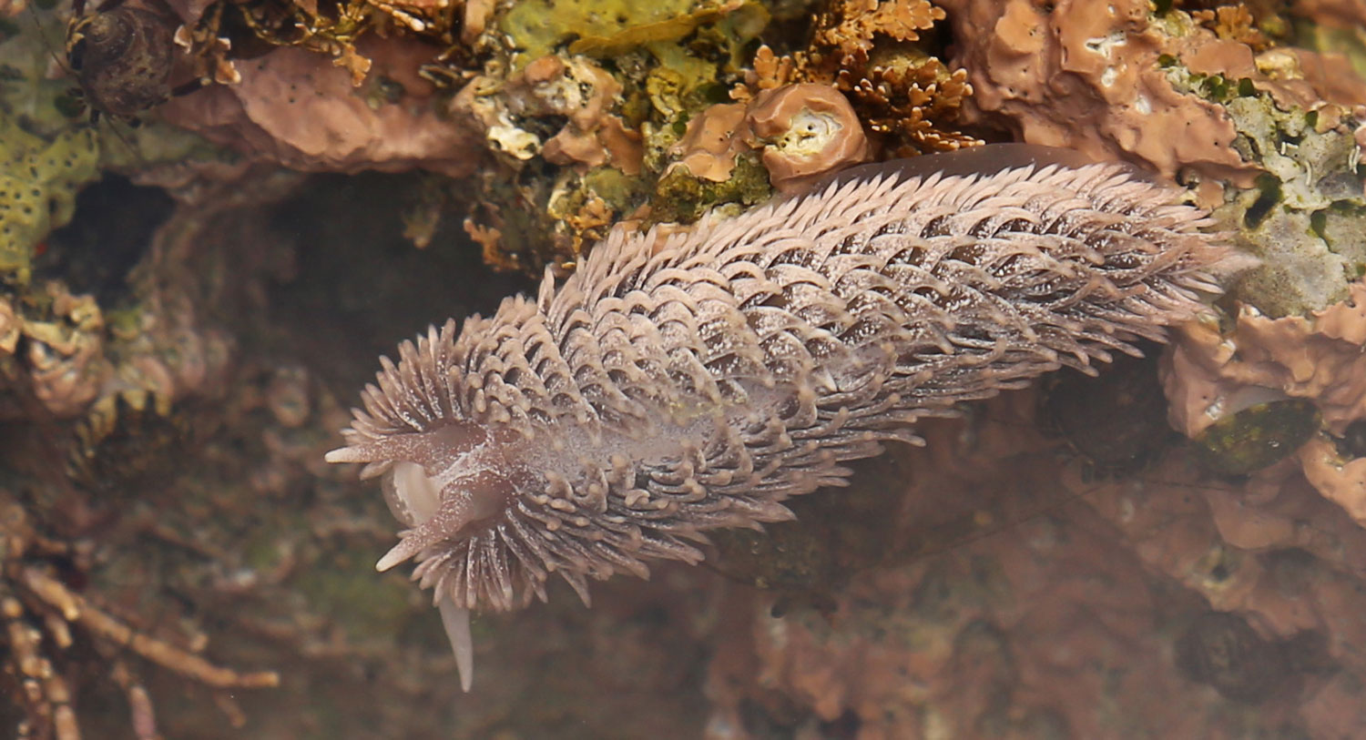 Gray sea slug in Southeast Alaska