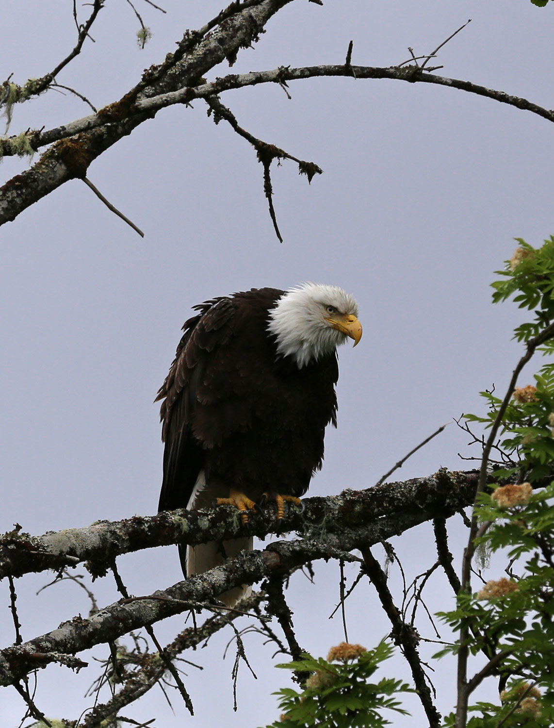 Grumpy bald eagle Southeast Alaska