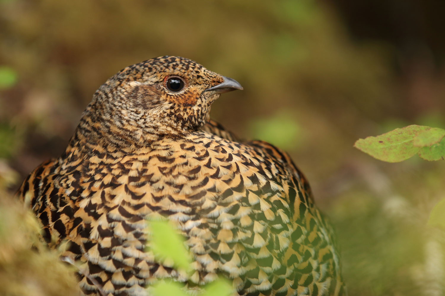 Spruce grouse hen close up Prince of Wales Island Southeast Alaska