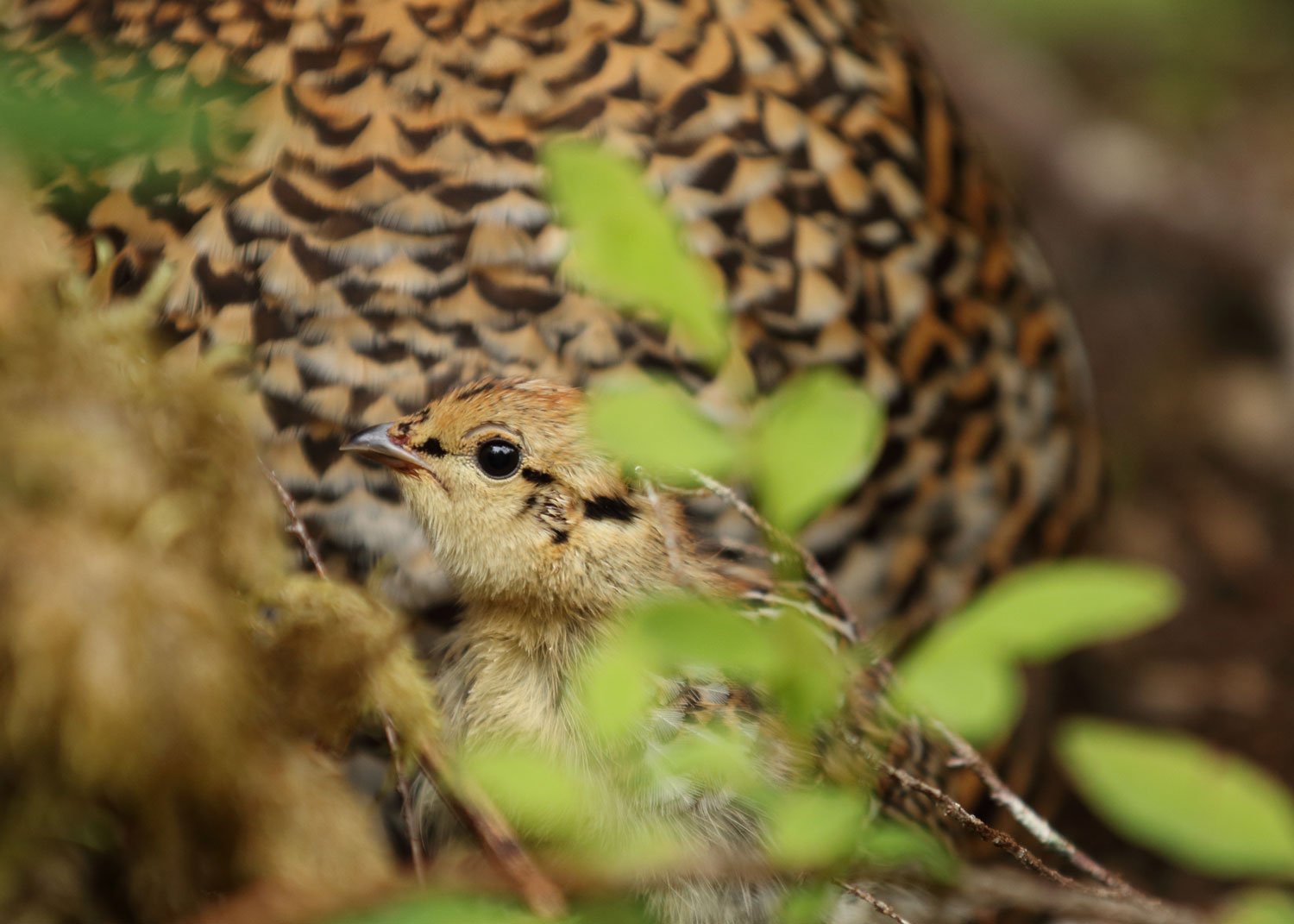 Spruce grouse chick in front of mom hen Southeast Alaska