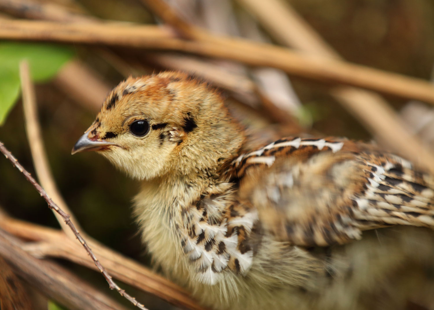 Grouse chick in Southeast Alaska