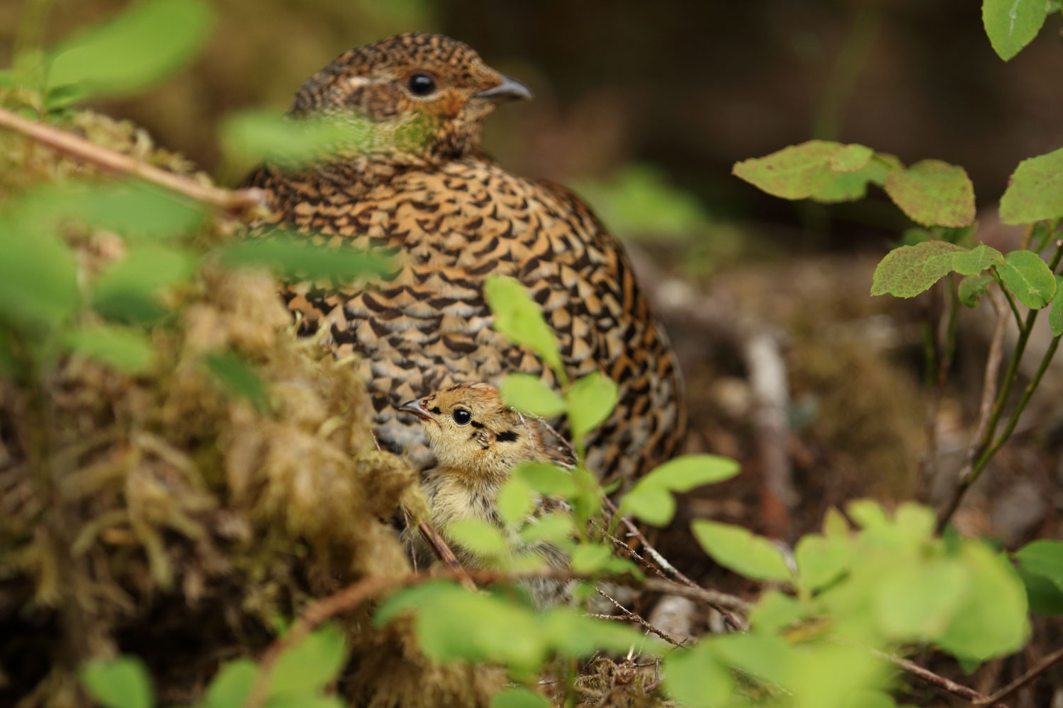 Grouse chick and hen in Southeast Alaska