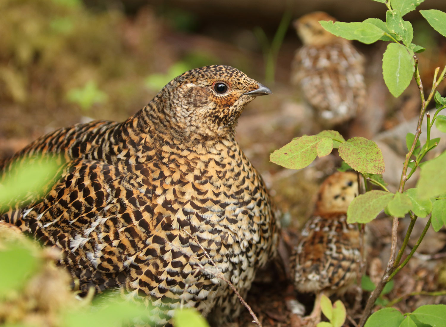 Spruce Grouse hen with chicks in Southeast Alaska on Prince of Wales Island