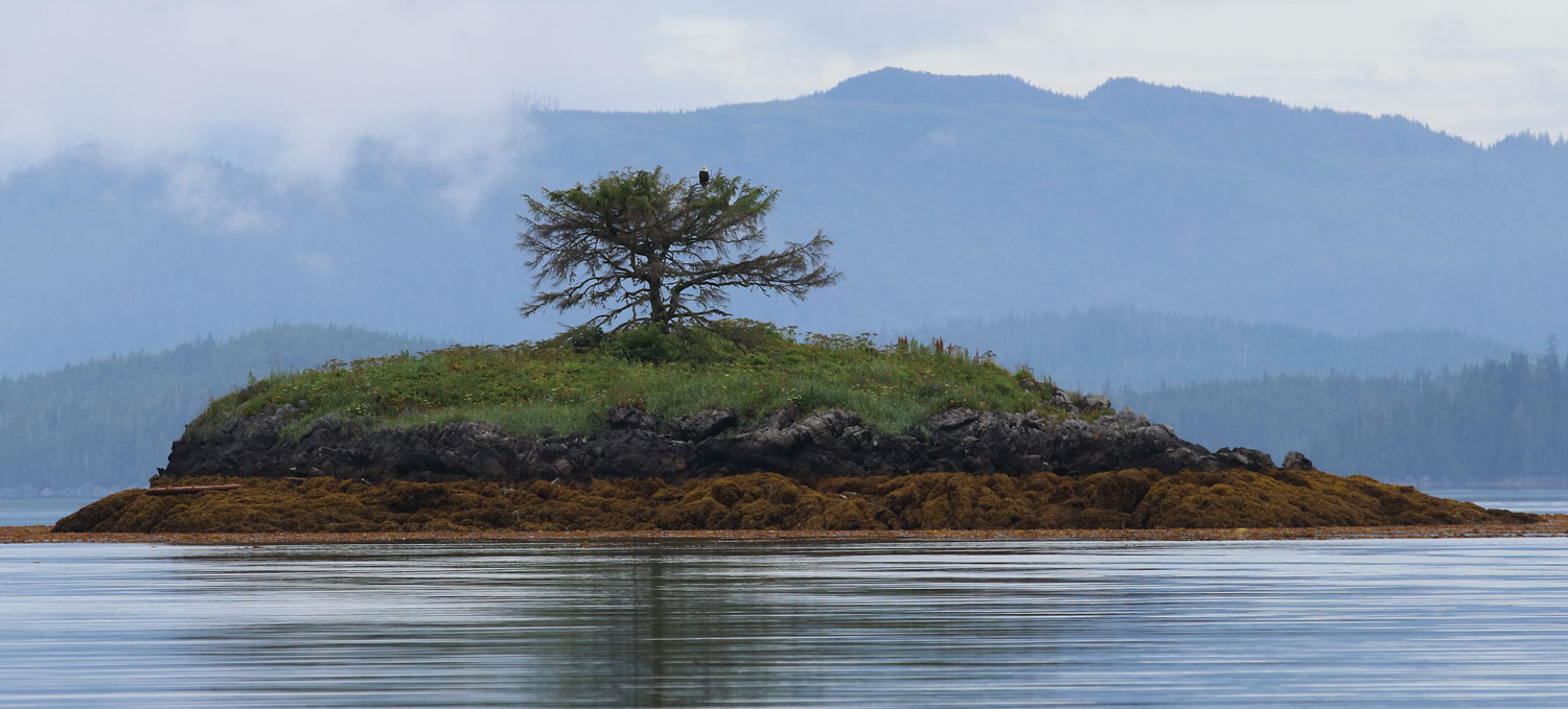 Bald eagle on and island with a single tree Southeast Alaska