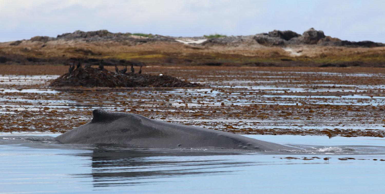 Humpback whale kelp cormorants Southeast Alaska