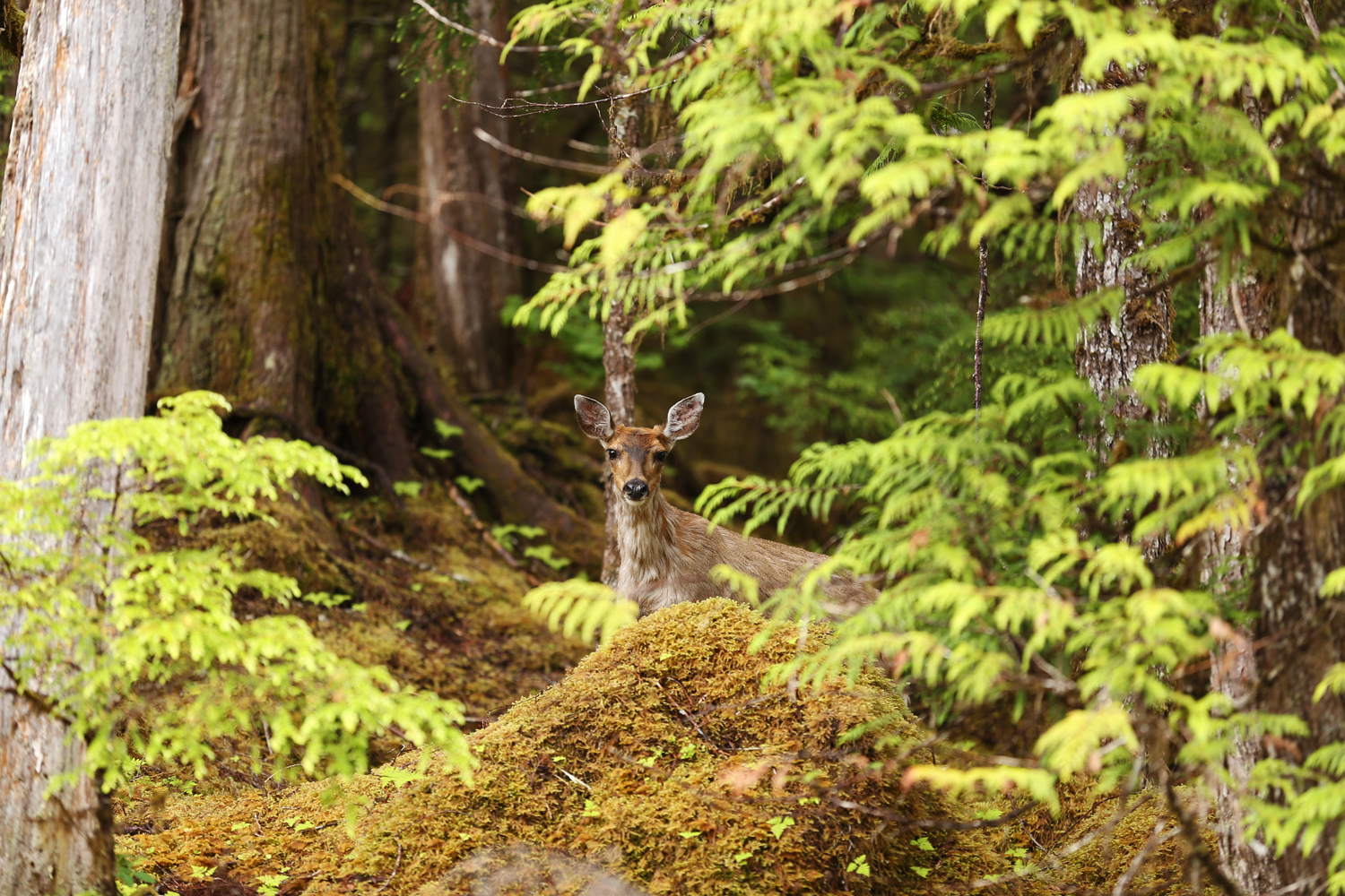 Old growth forest is very important winter habitat for deer.