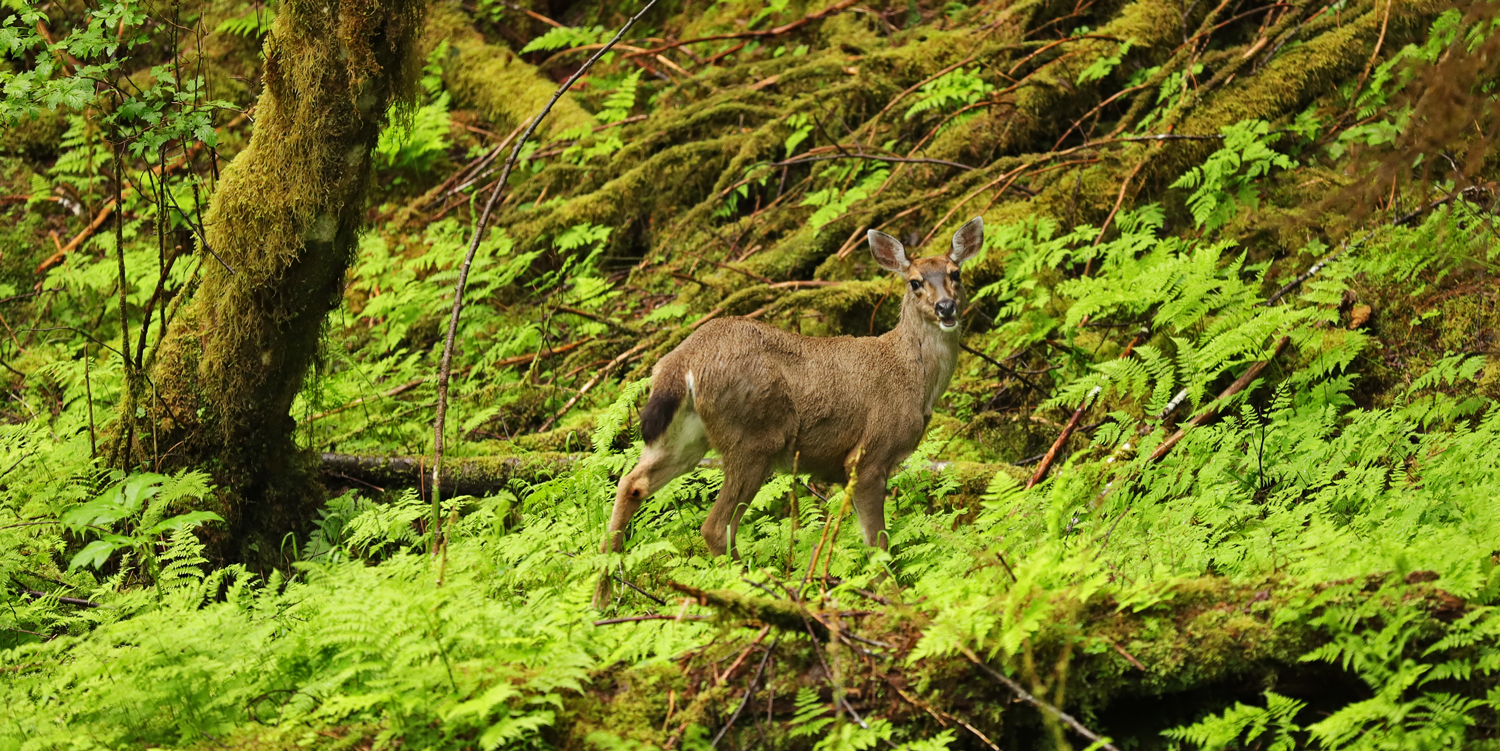 Sitka blacktail deer doe telling it like it is