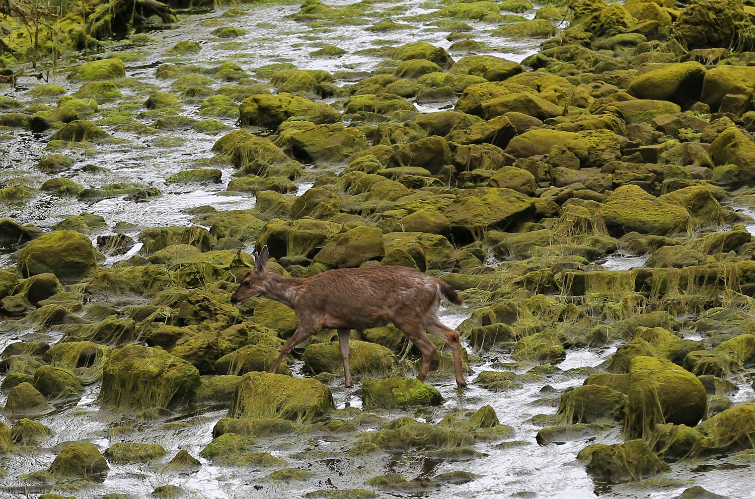 Sitka blacktail doe in Southeast Alaska walking through slimy seaweed