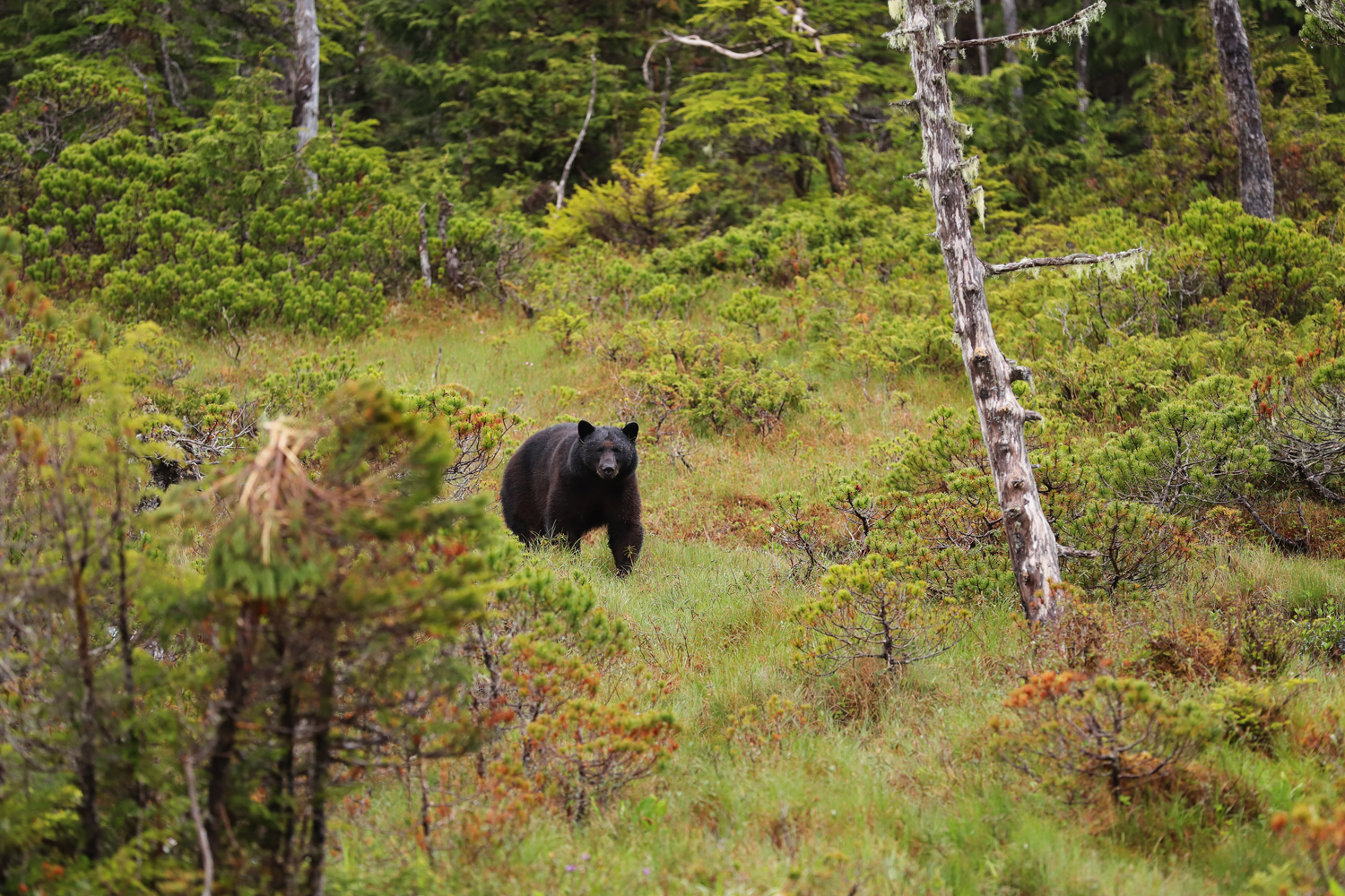 Black bear in muskeg in Southeast Alaska