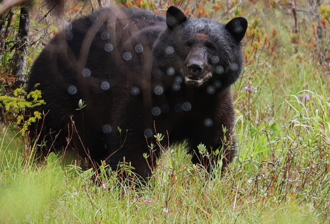 Black bear seeing spots in Southeast Alaska