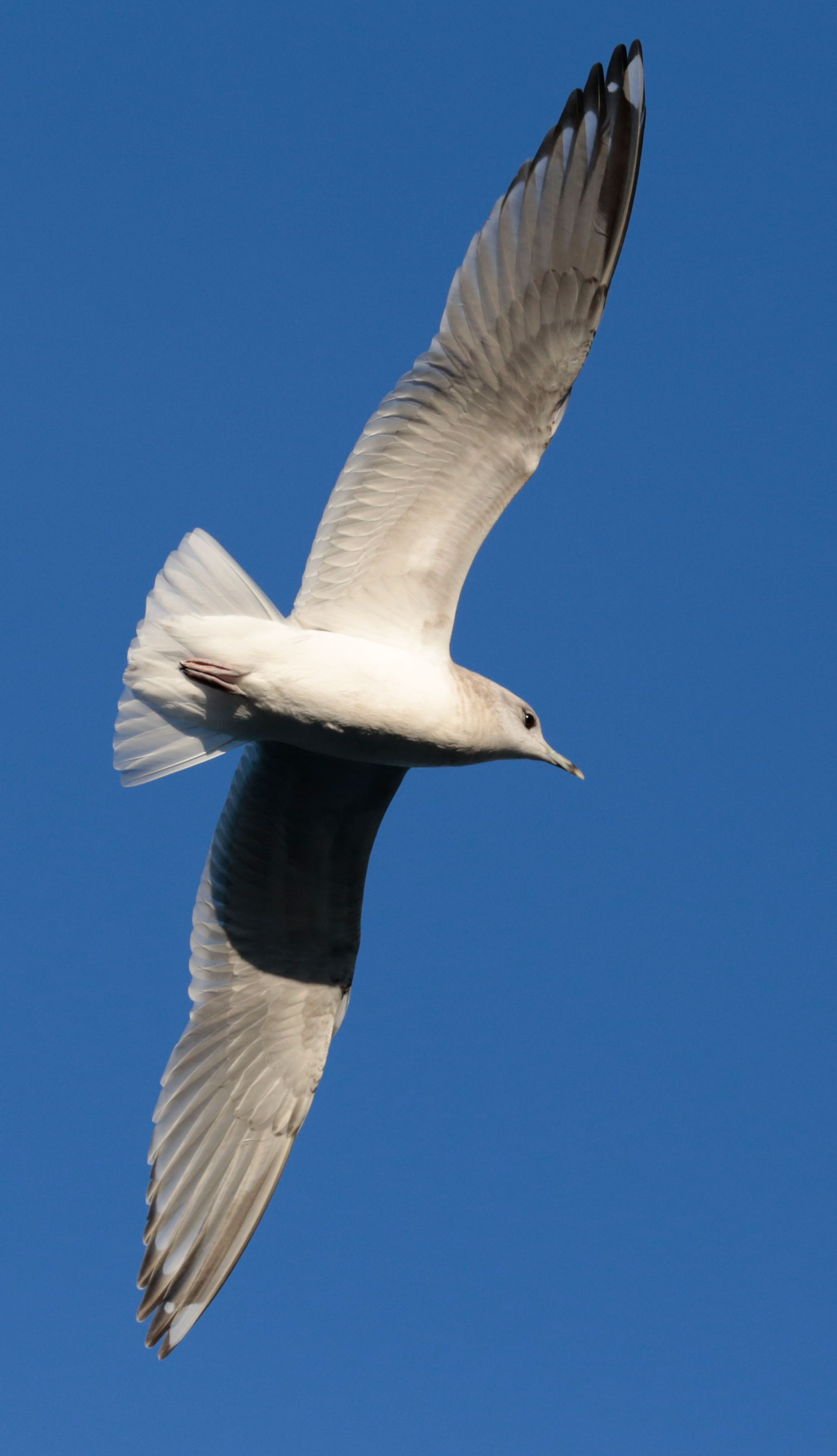 Graceful seagull soaring