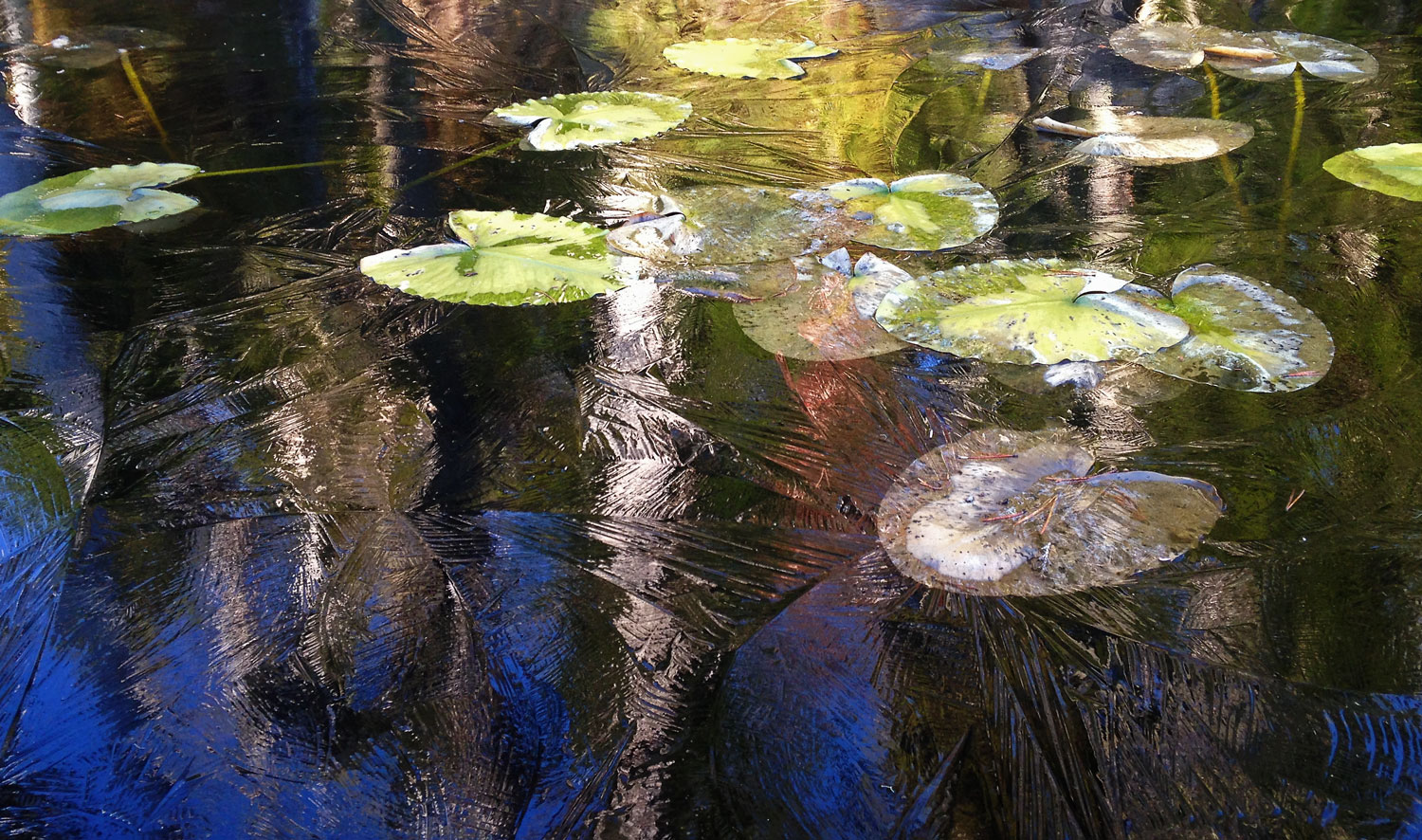 Lily pads in ice
