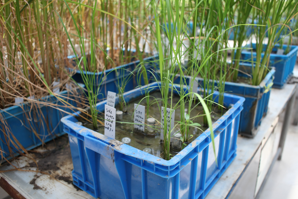 Image: The lab is trying to genetically engineer a C4 metabolic pathway into C3 plants, beginning with rice as a pilot plant species.