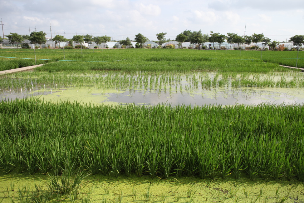 Image: On the lab's farm outside Shanghai, the different tests can be scaled up to field experiments.