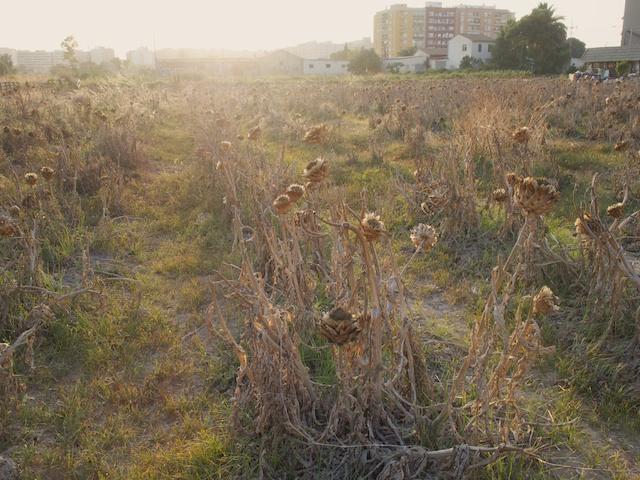Artichokes field in Valencia city. © Daniel Belenguer