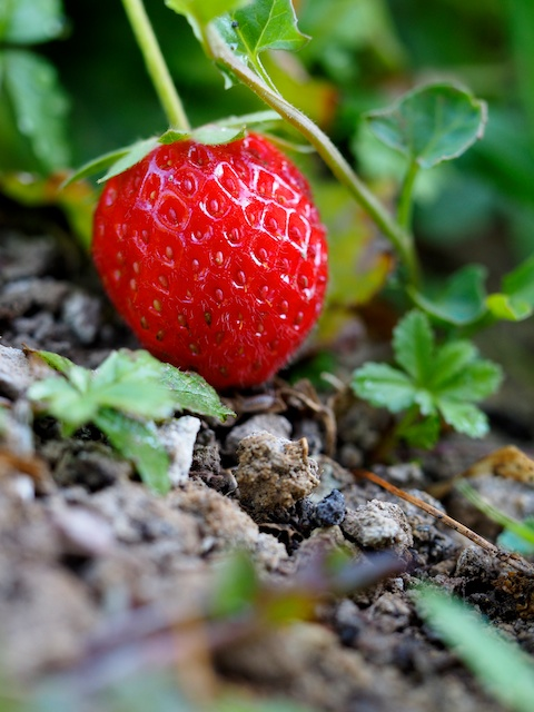 Las fresas son una golosina para los nanos cuando vienen al huerto, solo he conseguido llevar una vez a casa.  © Daniel Belenguer