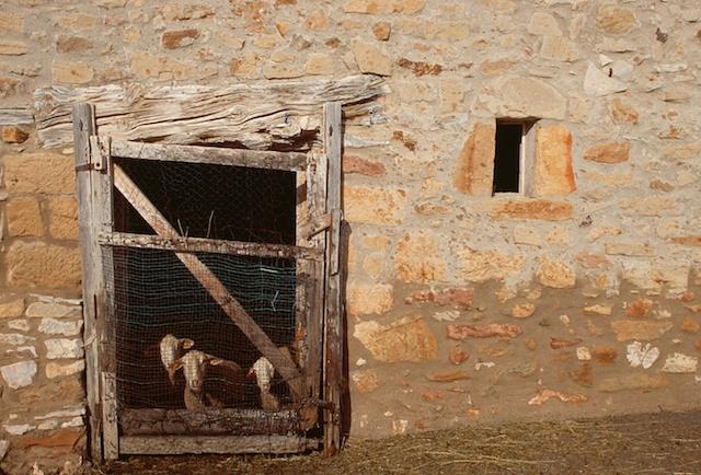 Spain pictures. Sheeps in Puertomingalvo. Teruel.© Daniel Belenguer