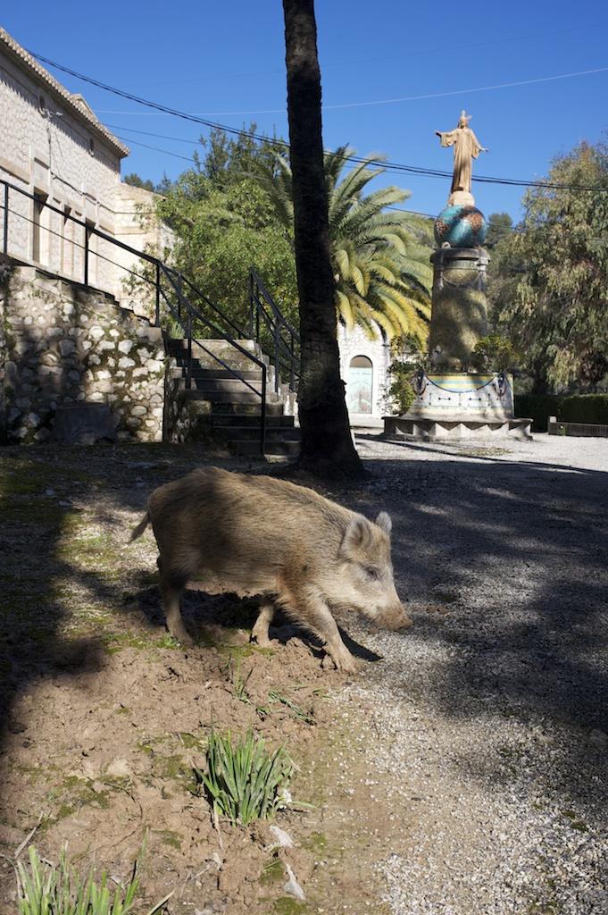 jabalí. Fontilles. Alicante.