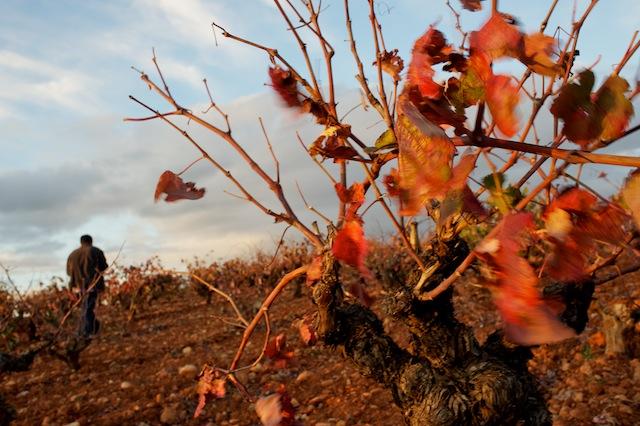 © Daniel Belenguer. Viñedo en otoño, Requena.