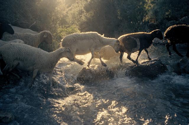 Rebaño de ovejas y cabras en Ludiente, atravesando el Rio Villahermosa. © Daniel Belenguer.