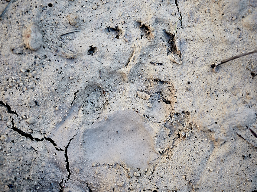 © Daniel Belenguer. Huella de tejón. Este animal tiene una zarpa característica, muy diferente al resto de carnivoros pequeños o medianos, parecida a la de un oso pequeño.