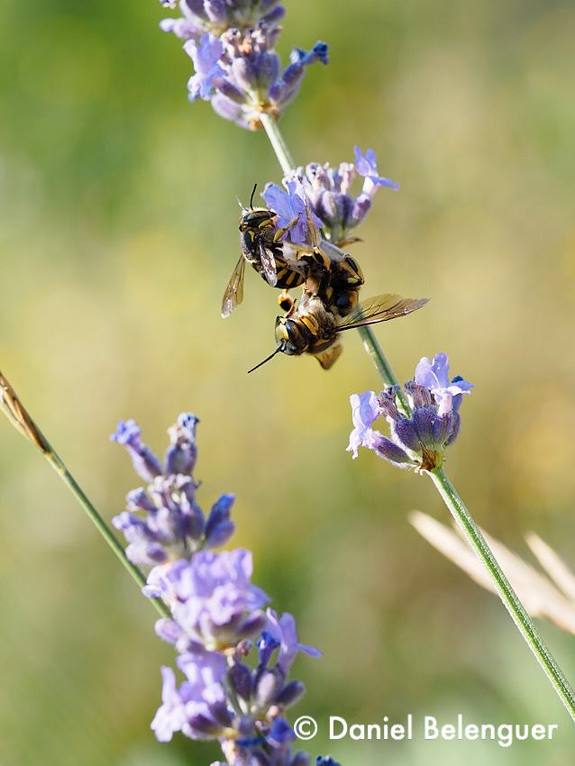 Parejita de ??? (insectos parecidos a abejas o avispas) disfrutando mientras cuidan el medio ambiente. Fotografiado en el seto de aromáticas que tenía alrededor de la huerta.