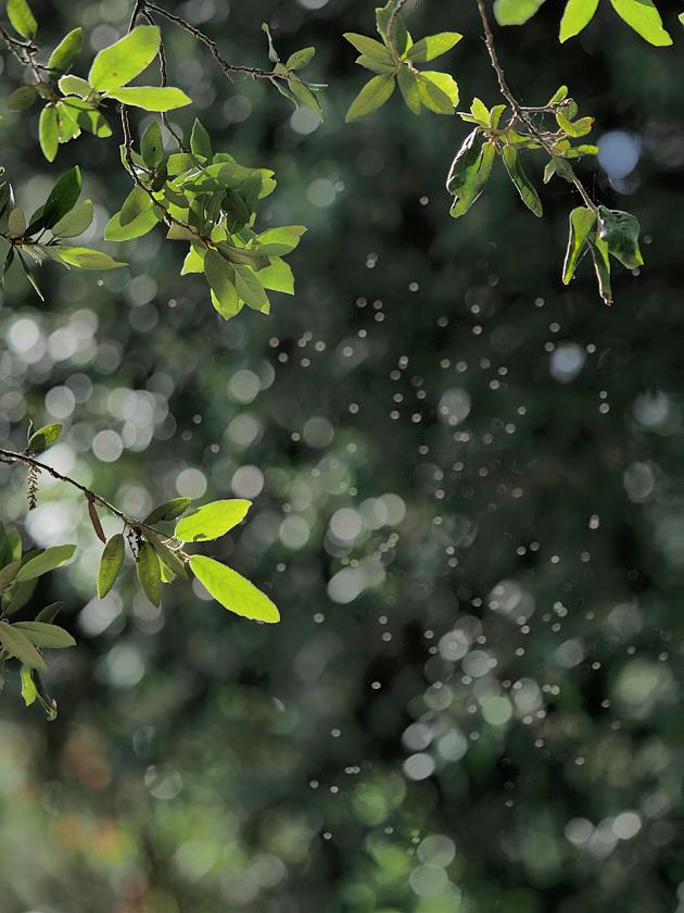 Quercus sp e insectos a contraluz.