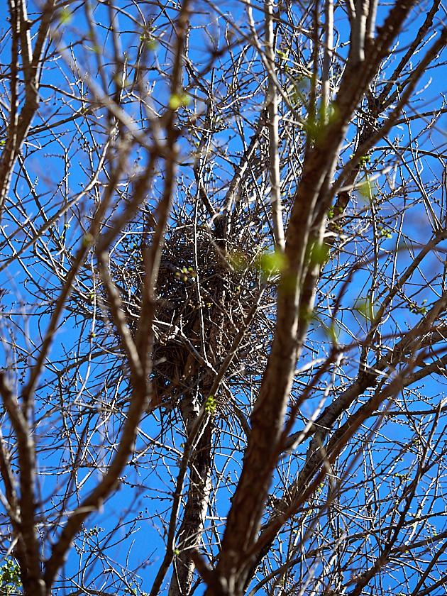 Las urracas han colonizado el Parque de la Rambleta y se encuentran tan a gusto que hacen sus nidos en lo alto de los árboles.