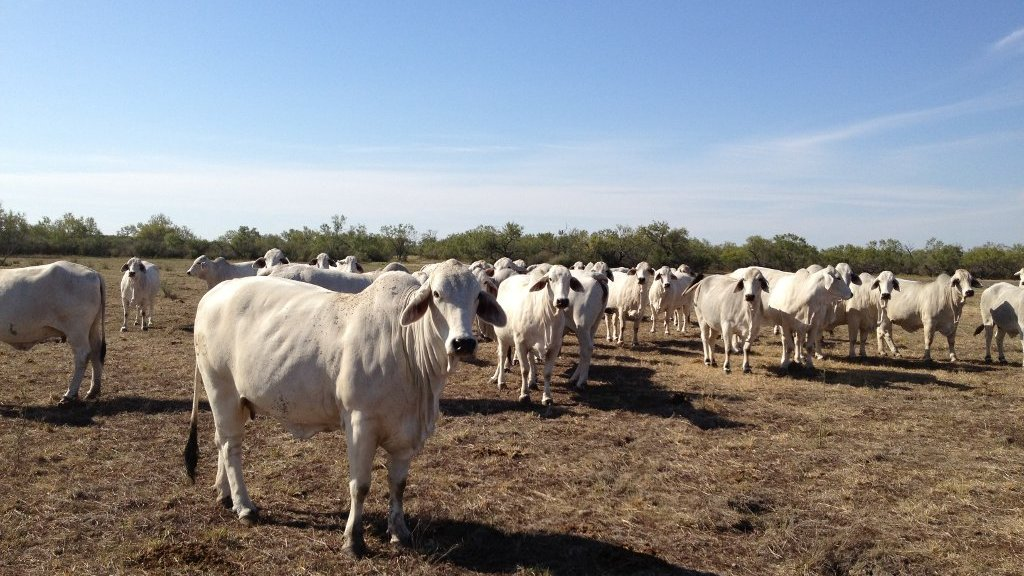 brahman-cattle.JPG