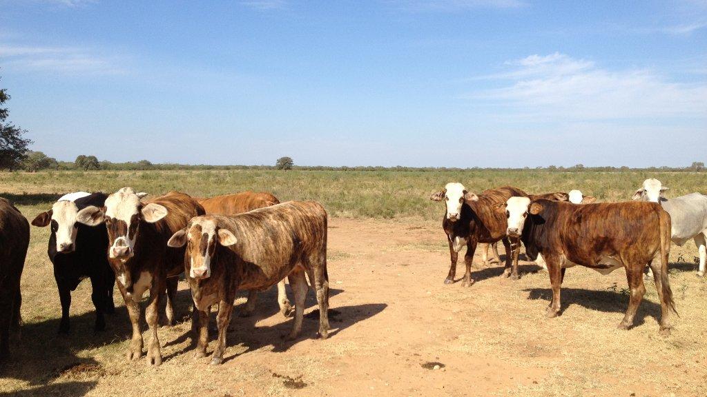 cattle-3.JPG